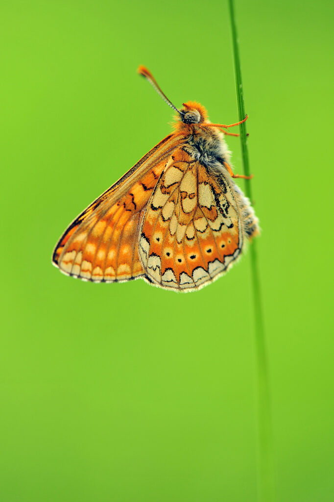 Travniški postavnež (Euphydryas aurinia). Foto Jošt Stergaršek
