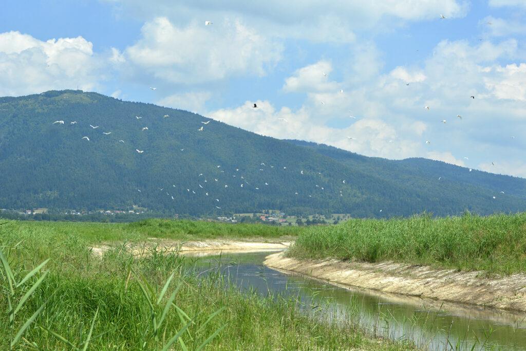 Še golo strugo so že naselili letošnji krapi in rdečeperke, ki predstavljajo hrano za ptiče, za katere je Cerkniško jezero pravi raj, tako med gnezdenjem kot na selitveni poti.